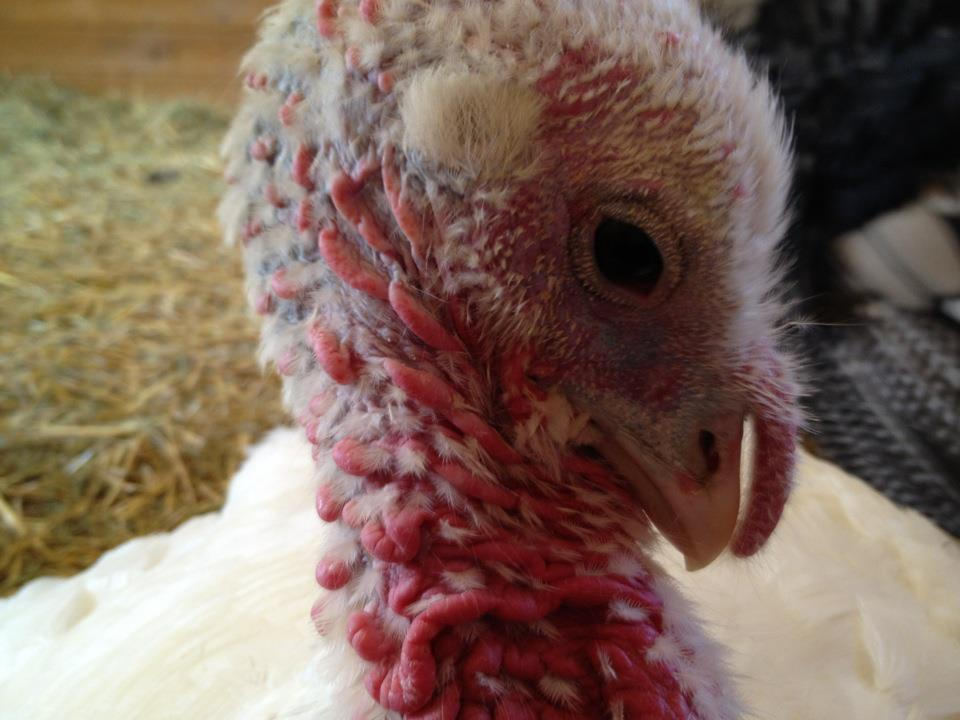 Turkeys - Much More than a Drum Stick